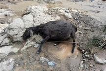 50 راس گوسفند در بخش چهاردانگه تلف شدند
