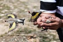 شکارچیان غیر مجاز پرنده در سمیرم دستگیر شدند