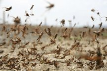 استان های غیردرگیربا ملخ برای مبارزه با این آفت وارد گودشوند