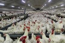 طرح توسعه یک واحد مرغداری در سیرجان افتتاح شد