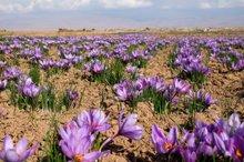 برداشت زعفران برای نخستین بار در منطقه سیستان آغاز شد