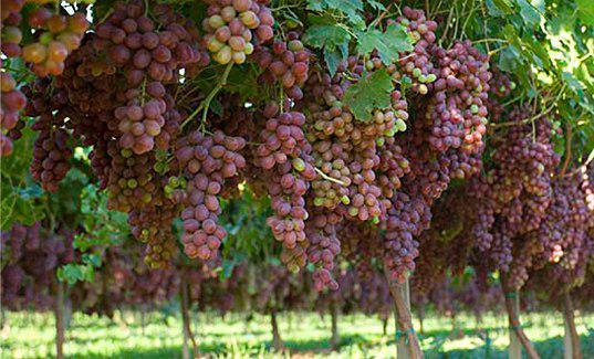 مرغوب ترین محصول انگور گروس، غایب بزرگ جشنواره انگور بیجار