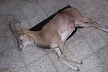 لاشه یک راس قوچ وحشی در بیرجند کشف شد
