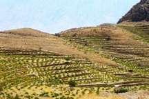 یک هزار و 200 هکتار باغ در اراضی دیم کامیاران ایجاد می شود