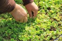 ضرورت صنعتی سازی گیاهان دارویی در کهگیلویه و بویراحمد