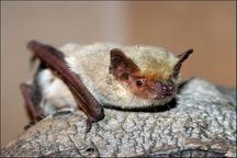 خفاش بالسفید برای نخستین بار در یزد مشاهده شد
