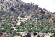 600 هزار هکتار از جنگلهای کرمان به آفت لورانتوس آلوده است
