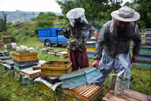 ۱۲۴ تن عسل در شهرستان بیجار تولید شد