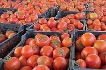 170هزارتن گوجه فرنگی در استان بوشهر برداشت شد