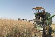 60 هکتار از مزارع هریس زیرکشت کلزا رفت