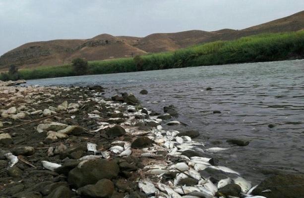 تلفات آبزیان رودخانه مرزی ارس به علت شوک زیست محیطی