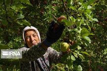 ۷۰۰ میلیارد ریال ماحصل فروش محصول سیب کشاورزان سلطانیهای