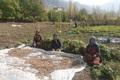 کشت بادام زمینی در پارس آباد افزایش یافت