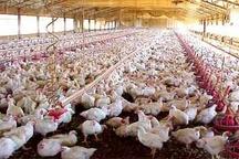 افزایش جوجه ریزی در مرغداریهای خوزستان