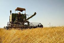 تولید گندم در قزوین امسال رشد پیدا می کند