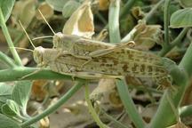 تدابیر لازم برای مقابله با ملخ صحرایی اندیشیده شده است