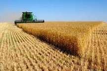 خرید تضمینی گندم در 56 مرکز استان اردبیل آغاز شد
