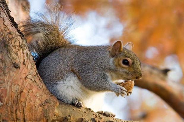 جمعیت سنجاب ها در باغستان قزوین باید کنترل شود