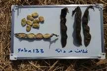 معرفی رقم جدید باقلا در مرکز تحقیقات کشاورزی دزفول