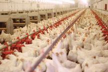کاهش جوجه ریزی باعث گرانی قیمت مرغ شد