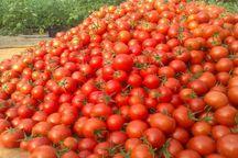 قیمت گوجه فرنگی در بازار قزوین کاهش یافت