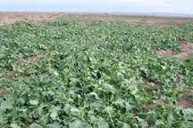 سرما در خراسان شمالی به 3 هزار هکتار مزارع کلزا خسارت زد