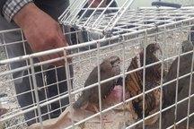 شکارچیان غیر مجاز کبک در بیجار به دام افتادند
