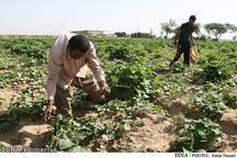 اختصاص بیش از 685 هکتار از اراضی امیدیه به کشت تابستانه