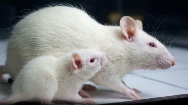 نقش مداخلات ورزشی و رژیم غذایی کمچربی بر بافت بیضه و عملکرد اسپرم موشها