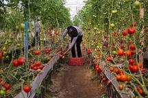 رویکرد کشاورزی یزد کشت های متراکم و گلخانهای است   بافق تنها مرکز رسمی تکثیر تیلاپیا در کشور
