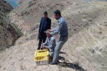 شکارچیان به رهاسازی کبک در طبیعت محکوم شدند