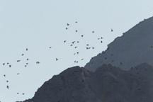 یکهزار پرنده مهاجر در سد رزه درمیان سرشماری شد