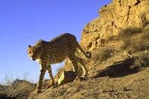 خبر تلخ برای دوستداران طبیعت  آخرین روزهای زندگی یوزپلنگ در یزد