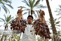 خرمای سراوان آماده فروش در بازارهای داخلی و خارجی