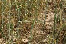 2 هزار هکتار از مزارع گندم باشت خسارت دید