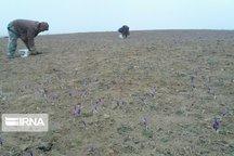 برداشت زعفران از زمینهای میامی آغاز شد