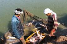 برداشت ماهی پرورشی در خرمشهر آغاز شد