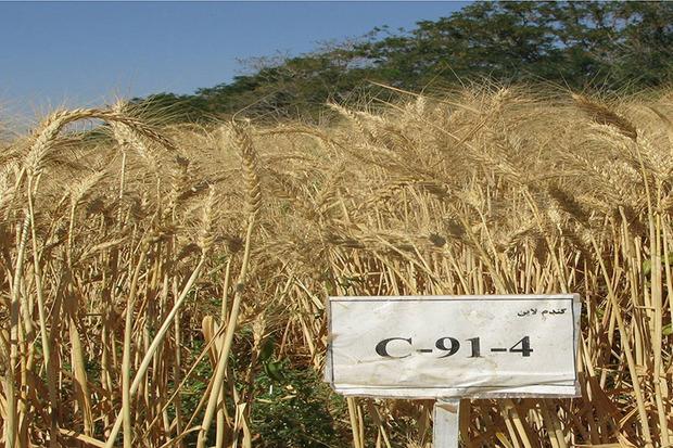 رقم گندم مقاوم به سرما در استان مرکزی تولید شد