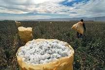 پیش بینی 6300هکتار کشت پنبه در خراسان شمالی  این محصول ازکشت های عمده بهاره است