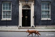 عبور یک روباه از کنار دفتر نخست وزیر انگلیس ! + تصویر