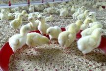 ماهانه یک میلیون قطعه جوجه گوشتی در اردستان تولید می شود