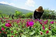 برداشت محصول گل گاو زبان در آستارا آغاز شد