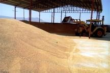 ذخیره سازی گندم مورد نیاز مردم استان ایلام برای هفت ماه آینده