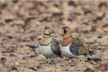 کشف 34 پرنده زنده باقرقره و دستگیری چهار شکارچی غیرمجاز در گنبدکاووس