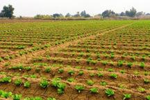 60 هزار هکتار از اراضی کشاورزی قزوین به روش حفاظتی کشت شدند
