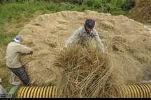 شالیکاران گیلانی طی 2 روز آینده از برداشت برنج خودداری کنند