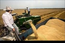 خرید تضمینی گندم در خمین 70  درصد افزایش یافت