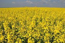 اختصاص ۲۲هزار هکتار از اراضی کشاورزی لرستان به کشت کلزا