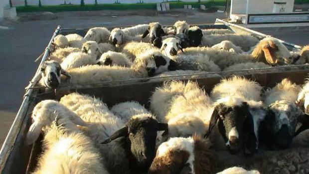187 راس گوسفند قاچاق در دام پلیس آگاهی زنجان افتاد