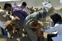 بیش از یک میلیون دام سبک در کردستان علیه تب برفکی واکسینه میشوند